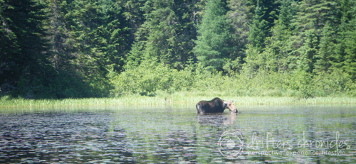 Moose in Joe Lake
