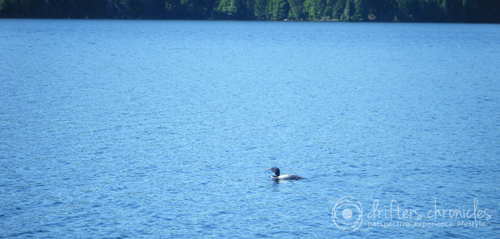 A loon gliding through the lake.