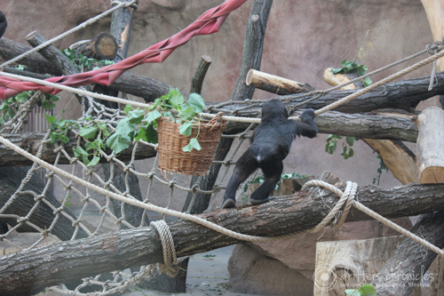 Baby Gorilla playing.