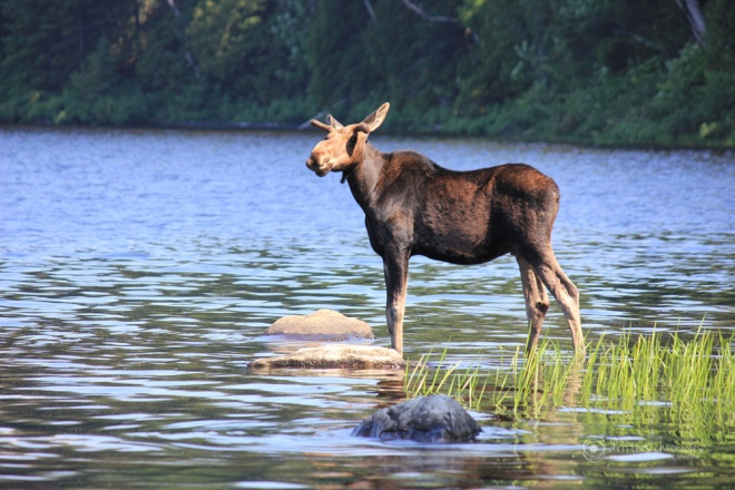 A Moose in Algonquin Park